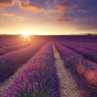 lavendar field at sunrise